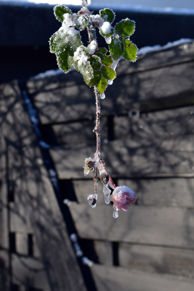 winterbild frost garten